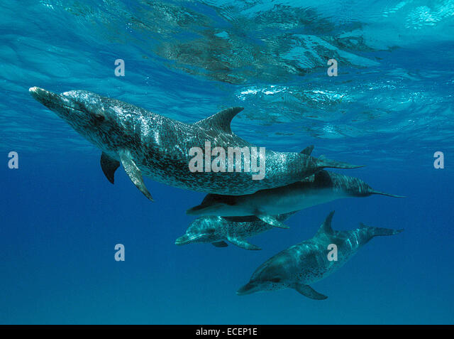 Baby Atlantic Spotted Dolphin | www.pixshark.com - Images ...