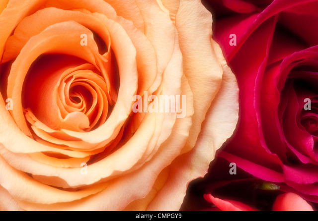 Red Roses Bunched Together Stock Photos & Red Roses ...