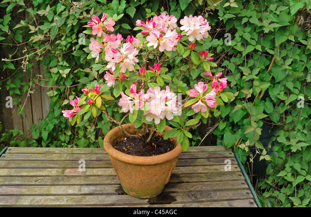 Rhododendron in pots