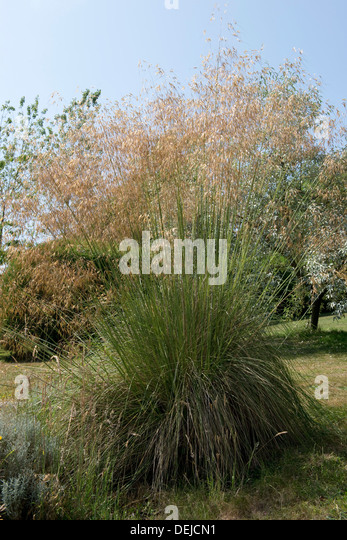 Stipa stock photos stipa stock images alamy for Giant ornamental grass