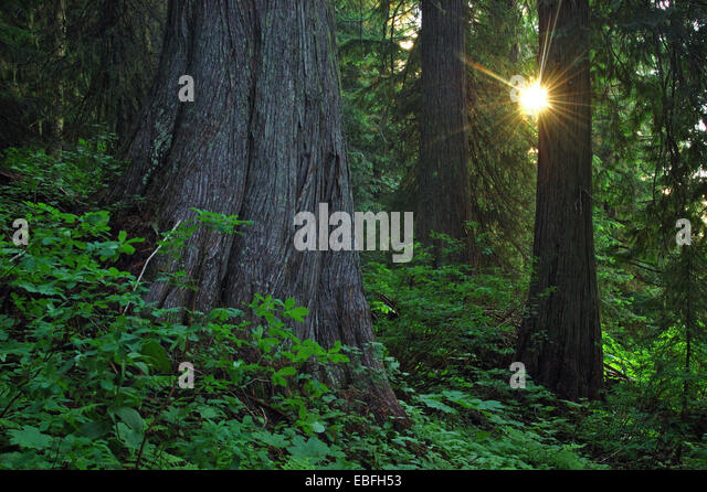 Red Cedar Forest ~ Western red cedar stock photos