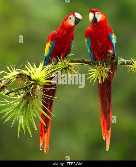 Scarlet Macaws Ara Macao Stock Photos & Scarlet Macaws Ara ...