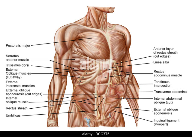 external oblique stock photos & external oblique stock images - alamy, Human Body