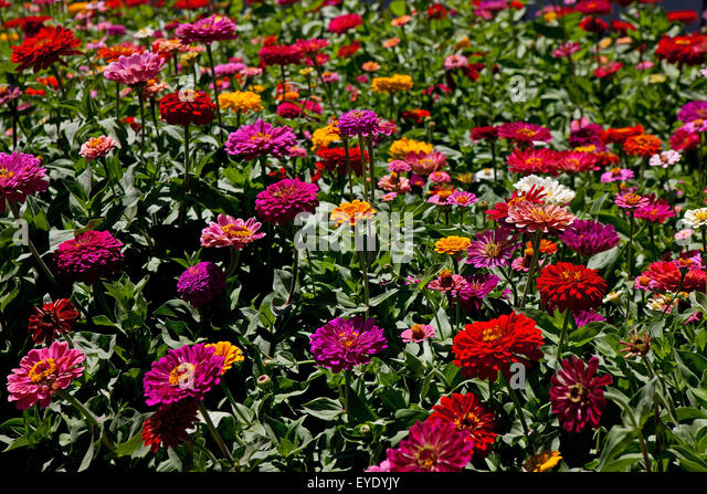 Zenia flowers stock photos zenia flowers stock images for Flowers union square nyc