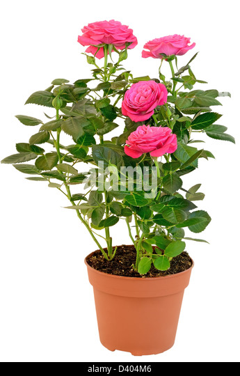 Roses terracotta stock photos roses terracotta stock images alamy - Pot de fleur intelligent ...