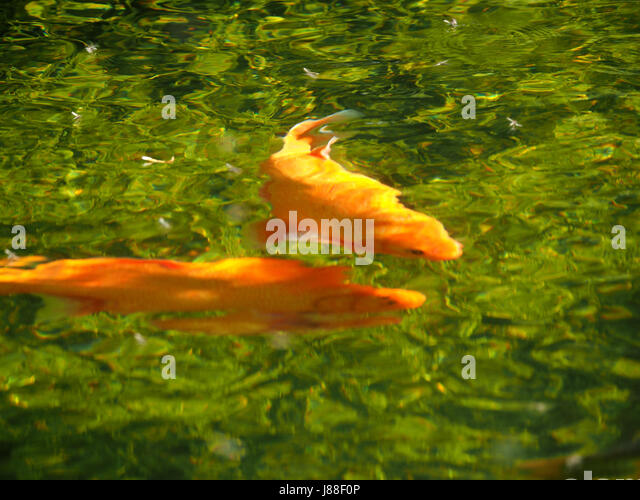 Garden pond and england koi stock photos garden pond and for Koi swimming