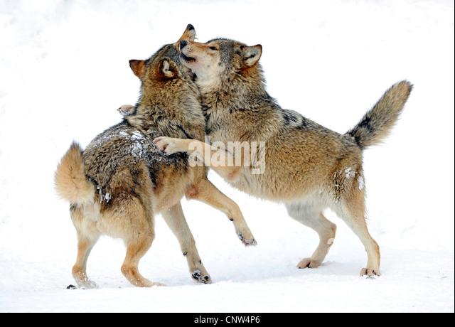 Wolf Germany wolf germany great ralph frank wwf germany with wolf germany