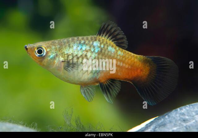 southern platyfish, Maculate Platy (Xiphophorus maculatus), female ...
