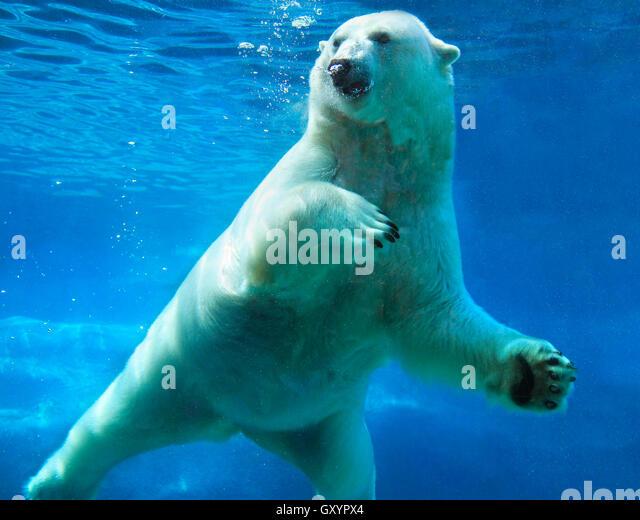 polar bear swimming underwater stock photos amp polar bear