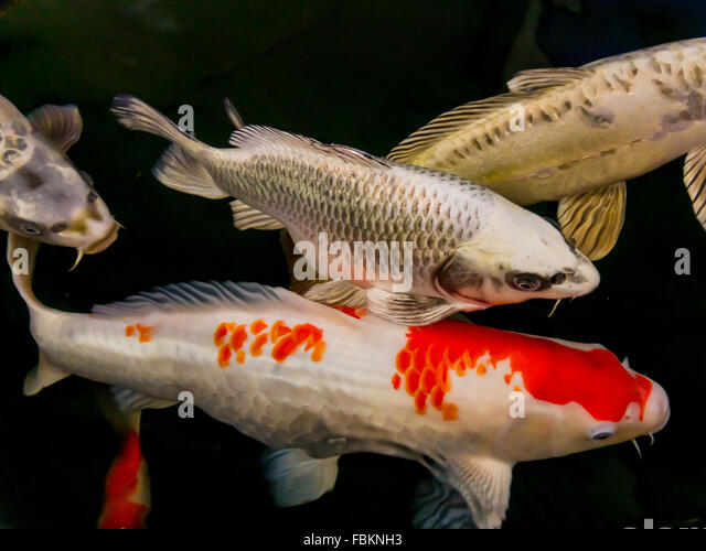 Freshwater fish uk stock photos freshwater fish uk stock for Koi carp fish for sale