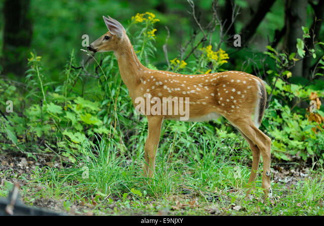 temperate forest deer stock photos amp temperate forest deer