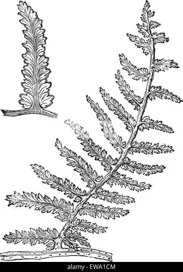 Fern Seed Stock Photos & Fern Seed Stock Images - Alamy