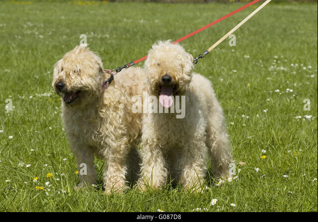 Wheaten Terrier Stock ...