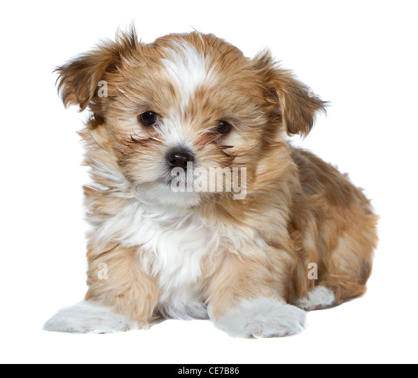 Shih Tzu Puppy Stock Photos & Shih Tzu Puppy Stock Images ...