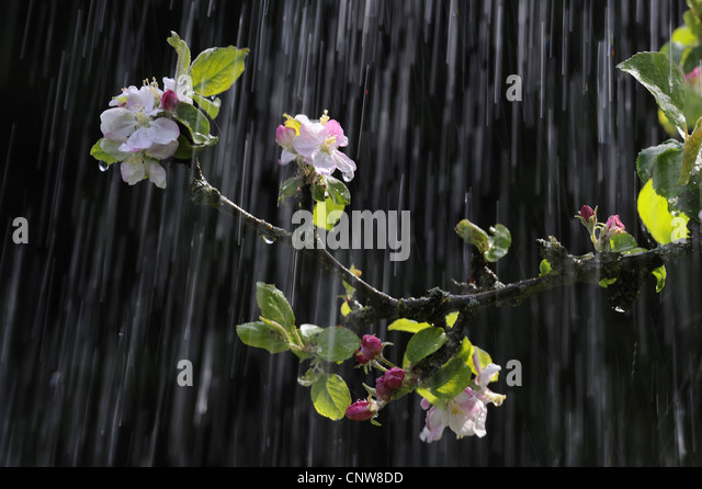 Apple tree malus domestica blooming stock photos apple for Domestica in svizzera
