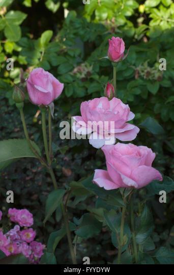 queen elizabeth rose bush stock photos queen elizabeth. Black Bedroom Furniture Sets. Home Design Ideas
