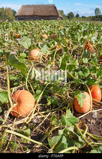 how to grow pumpkins uk