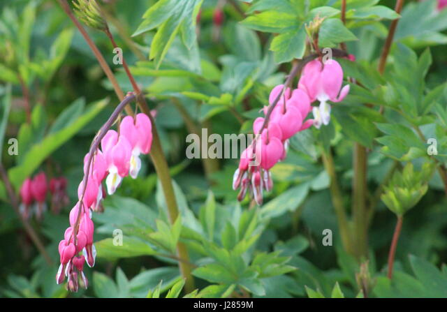 Bleeding Heart Plant Stock Photos Bleeding Heart Plant Stock