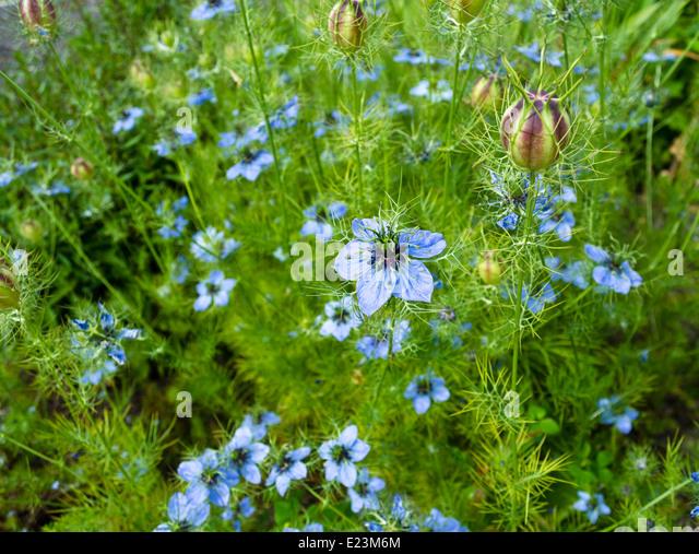 beautiful-blue-love-in-a-mist-or-nigella