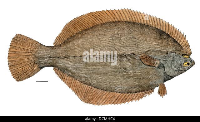 Flounder atlantic stock photos flounder atlantic stock for Winter flounder fishing