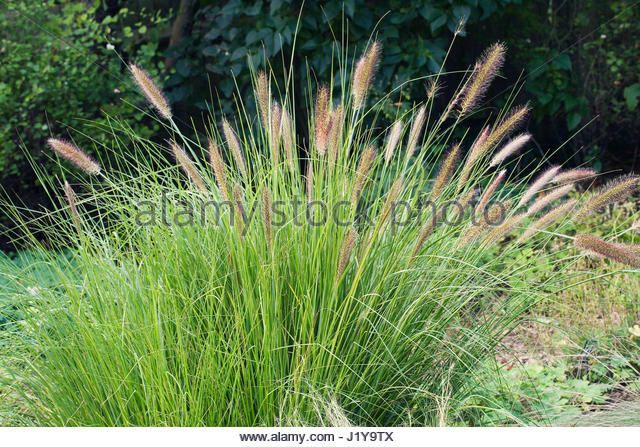 Pennisetum alopecuroides hameln stock photos pennisetum for Hardy fountain grass