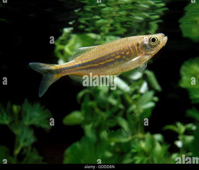 Danio stock photos danio stock images alamy for Giant danio fish