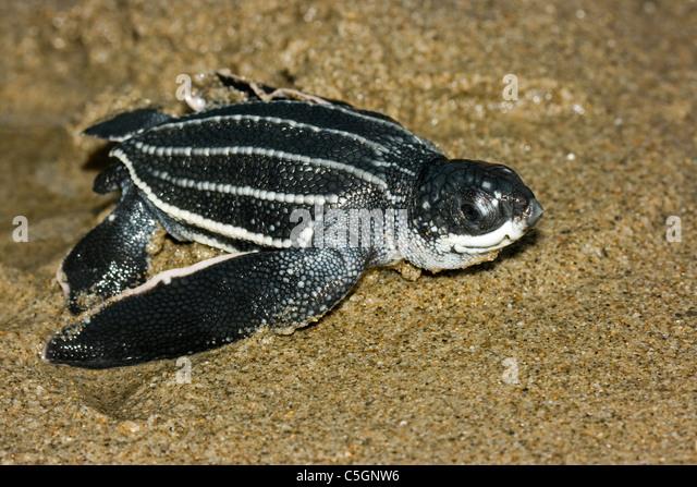 Leatherback turtle baby stock photos