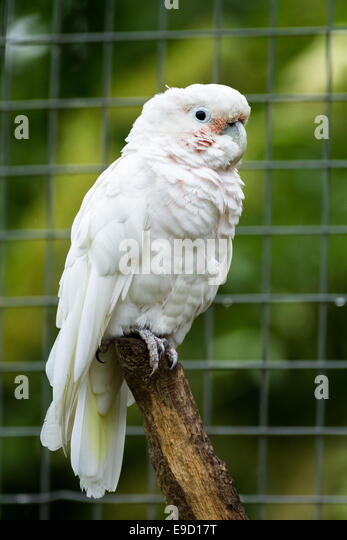 Caged bird preening - 2 3