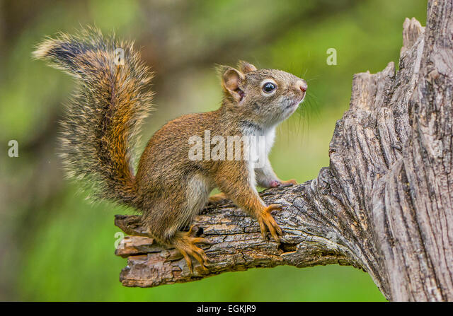 Baby Red Squirrel Stock Photos & Baby Red Squirrel Stock ...