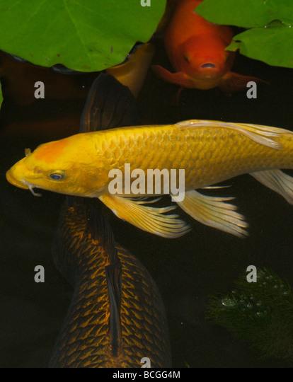 Ornamental carp stock photos ornamental carp stock for Ornamental pond fish uk