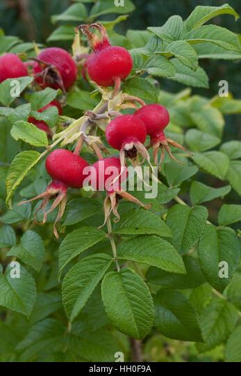 kartoffel rose stock photos kartoffel rose stock images alamy. Black Bedroom Furniture Sets. Home Design Ideas