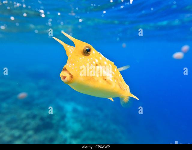 a longhorn cowfish lactoria cornuta underwater closeup stock image