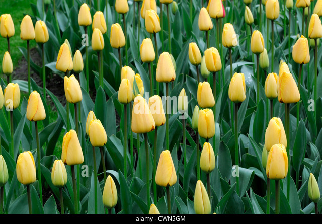 tulipa apeldoorns elite tulip darwin hybrid yellow orange garden ...