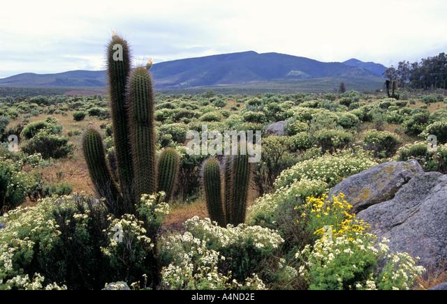 Chilean cactus stock photos chilean cactus stock images for Cactus santiago