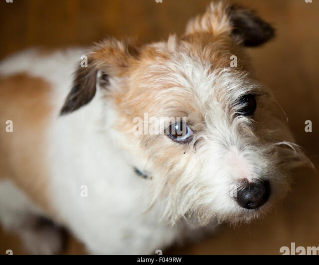 Long Haired Terrier Stock Photos & Long Haired Terrier ...