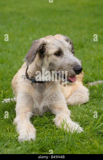 Irish Wolfhound Stock ...