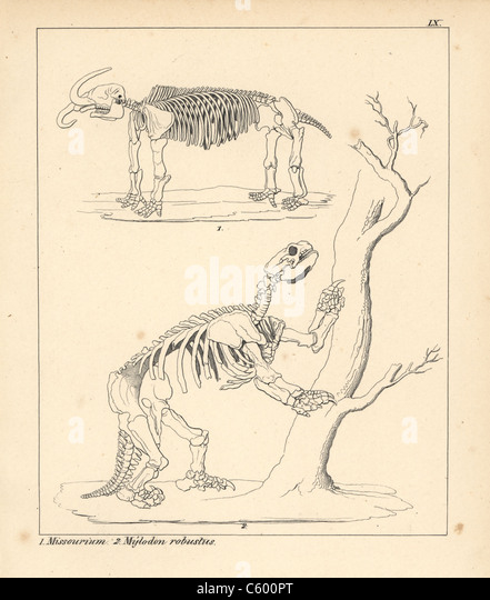 skeletons of the american mastodon and giant ground sloth stock image