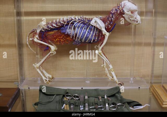 A three dimensional model of the insides of a small animal at the Minnesota Veterinary Historical Museum in St. - Stock Image