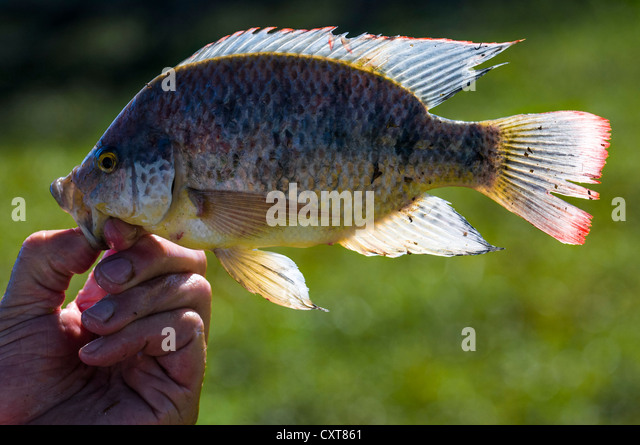 Caught hold stock photos caught hold stock images alamy for Is tilapia a man made fish