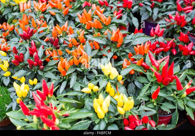 Chili Pepper Plants Stock Photos & Chili Pepper Plants ...