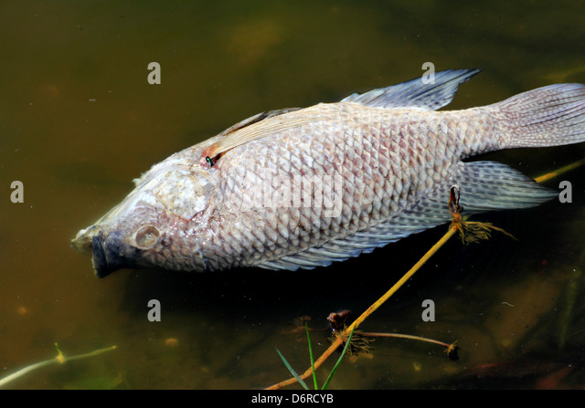 Cichlid stock photos cichlid stock images page 8 alamy for Is tilapia a fake fish