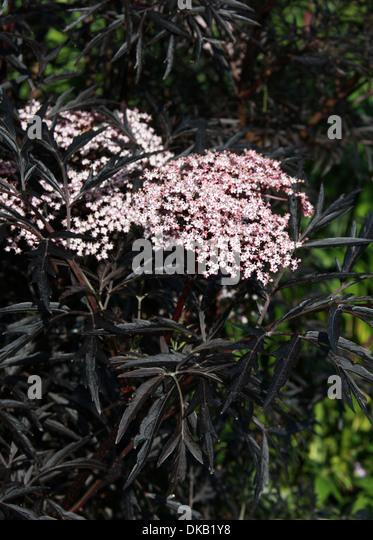elderberry sambucus nigra stock photos elderberry. Black Bedroom Furniture Sets. Home Design Ideas