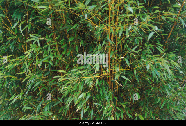 phyllostachys aureosulcata aureocaulis stock photos phyllostachys aureosulcata aureocaulis. Black Bedroom Furniture Sets. Home Design Ideas