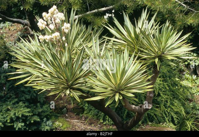 yucca gloriosa stock photos yucca gloriosa stock images alamy. Black Bedroom Furniture Sets. Home Design Ideas