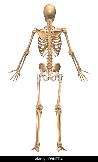 humerus tibia stock photos & humerus tibia stock images - alamy, Skeleton