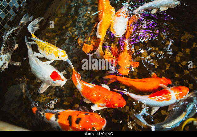 Carp koi stock photos carp koi stock images alamy Koi fish swimming pool