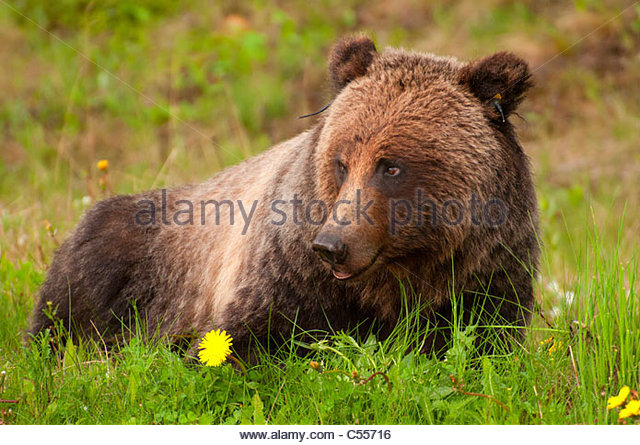 grizzly bear resting in - photo #23
