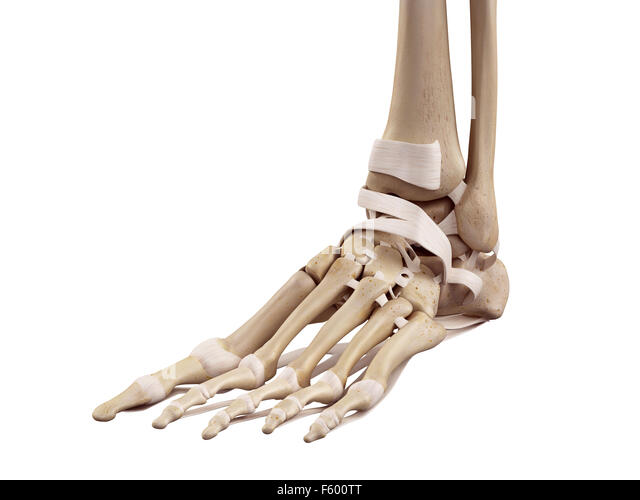 Human Foot Ligaments Stock Photos Human Foot Ligaments Stock