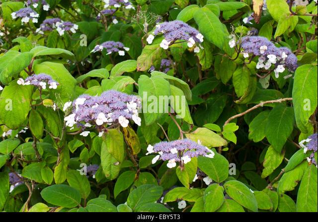 hydrangea aspera leaves stock photos hydrangea aspera. Black Bedroom Furniture Sets. Home Design Ideas