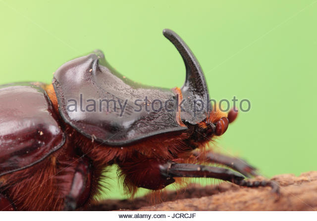 Close up portrait of an European rhinoceros beetle, Oryctes nasicornis, a large flying beetle belonging to the family - Stock Image